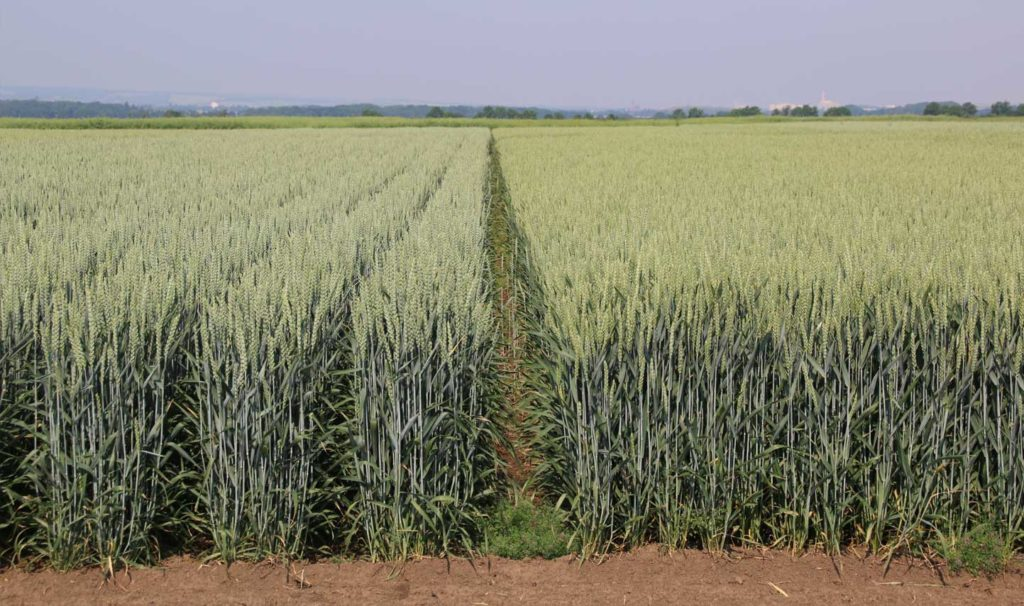 Double rows of wheat at 50 cm at the ICC, Bernburg (source: Siv Biada, DLG)