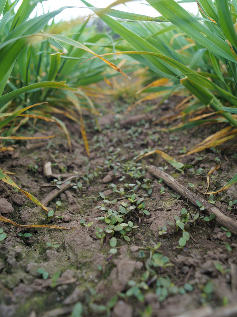Winter barley with companion plant Egyptian clover on 2 May ...